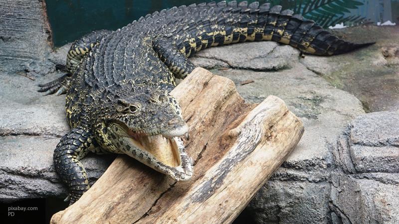 Крокодил советского космонавта откусил руку пожилому шведу
