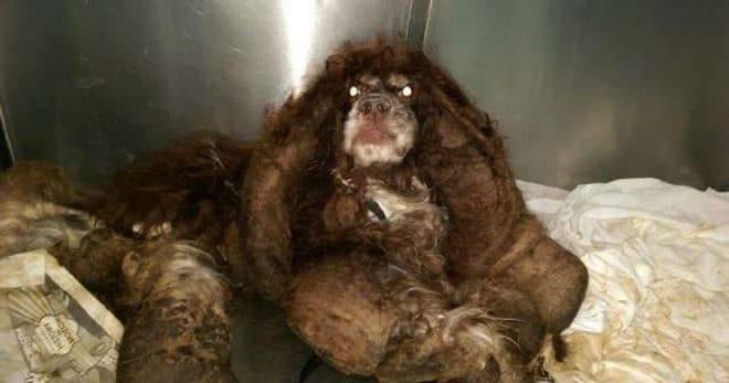 Этот спутанный комочек шерсти едва двигался, и только люди смогли помочь несчастной собаке