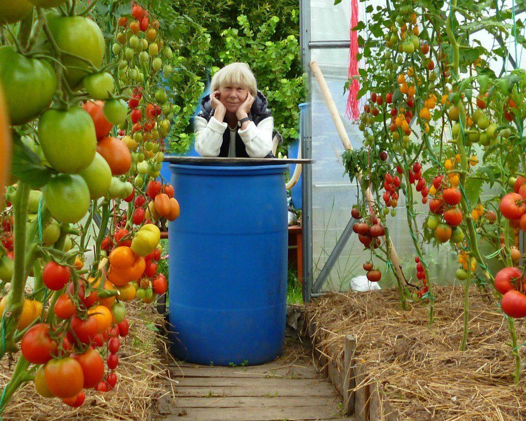 Секрет выращивания помидор прикольные картинки