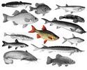 О пищевом поведении рыб