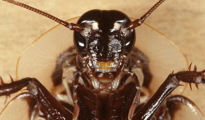 Одно из немногочисленных применений тараканов — корм экзотических животых.