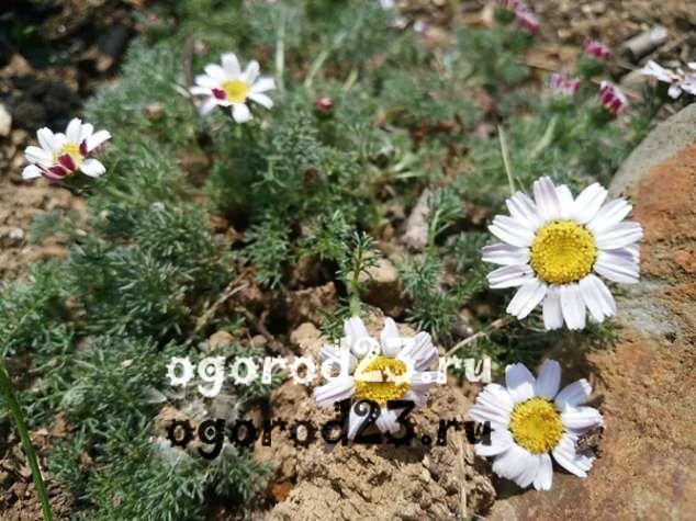 цветы похожие на ромашки 1