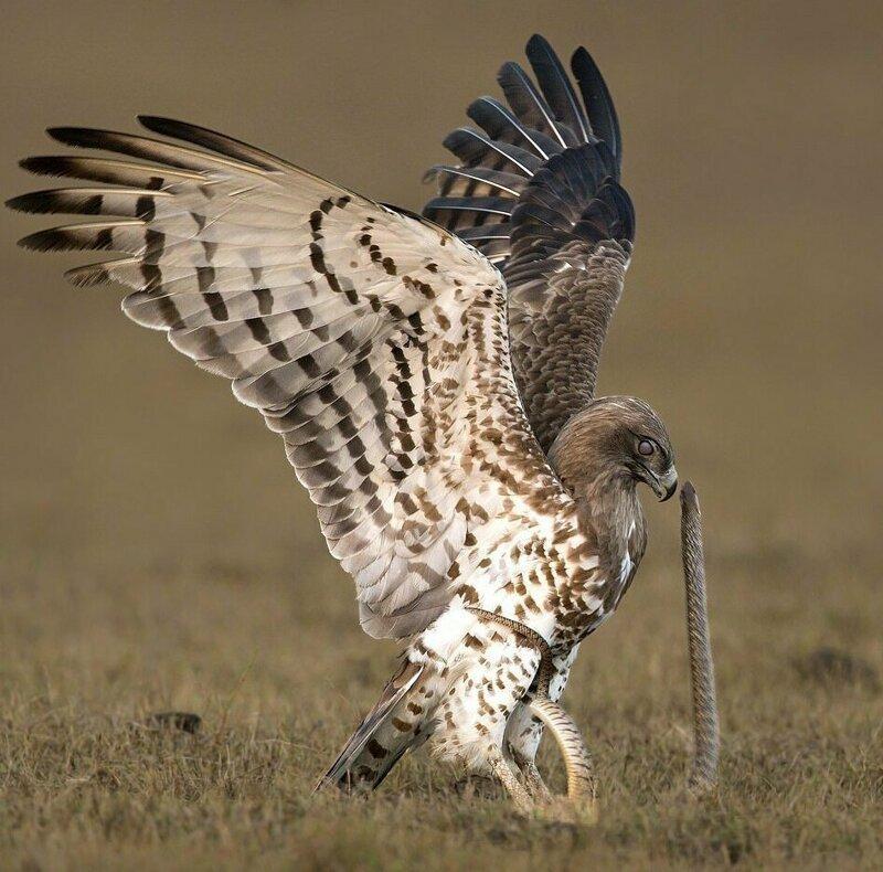Пресмыкающееся оказалось в цепких когтях Тамилнад, животные, змея, индия, орел, схватка, хищник