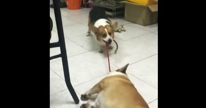 Пес заставляет своего ленивого друга встать. Его упорству можно позавидовать!