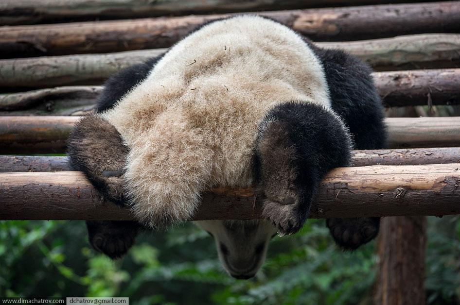 Прогулка по крупнейшему питомнику панд в мире