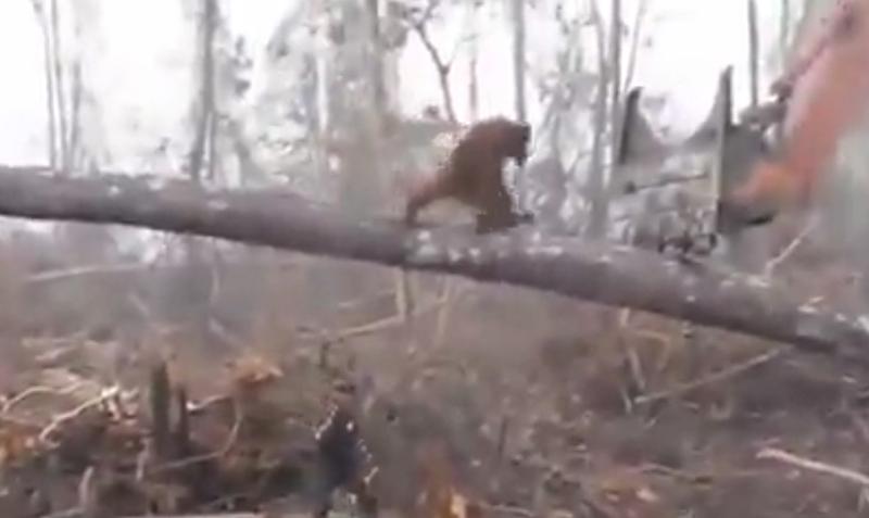 Обезьяна пыталась остановить бульдозер, уничтожающий её лес