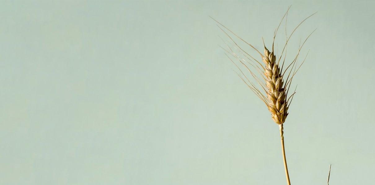 Как глютенофобия охватила мир, очернила пшеницу и заставила нас платить