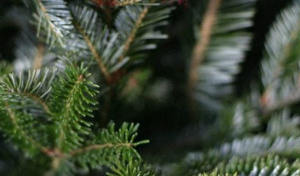 Как сохранить красоту елки