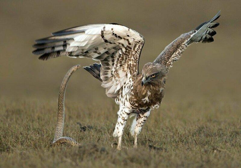 Самбат Суббайя сфотографировал схватку орла и змеи в штате Тамилнад, Индия Тамилнад, животные, змея, индия, орел, схватка, хищник
