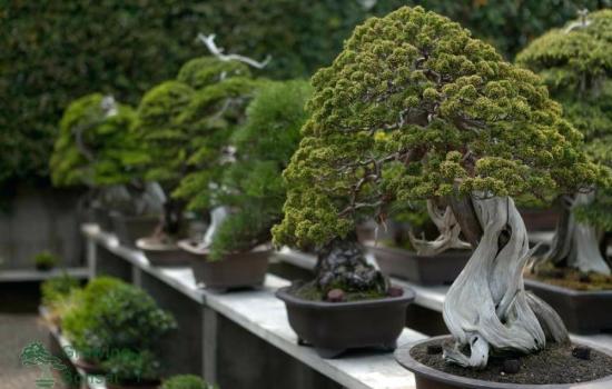 6 идеальных растений для бонсай (фото)