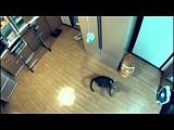 Прыгающий на два метра кот покорил Интернет (видео)