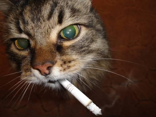 Кошка и табачный дым: примирение невозможно