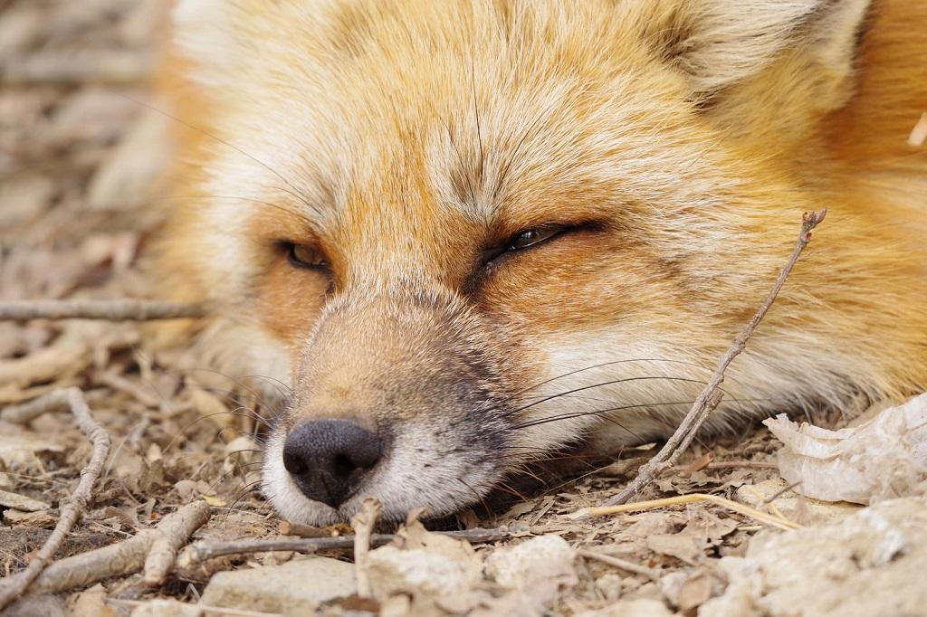 Удивительный мир полудиких лисиц в Японии, фото