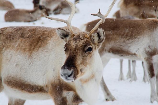 Почему северные олени меняют цвет глаз под Рождество?