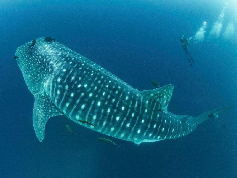Заплыв с самой крупной в мире акулой