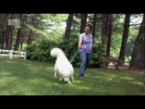 Самоед (Самоедская лайка) — Dogs 101