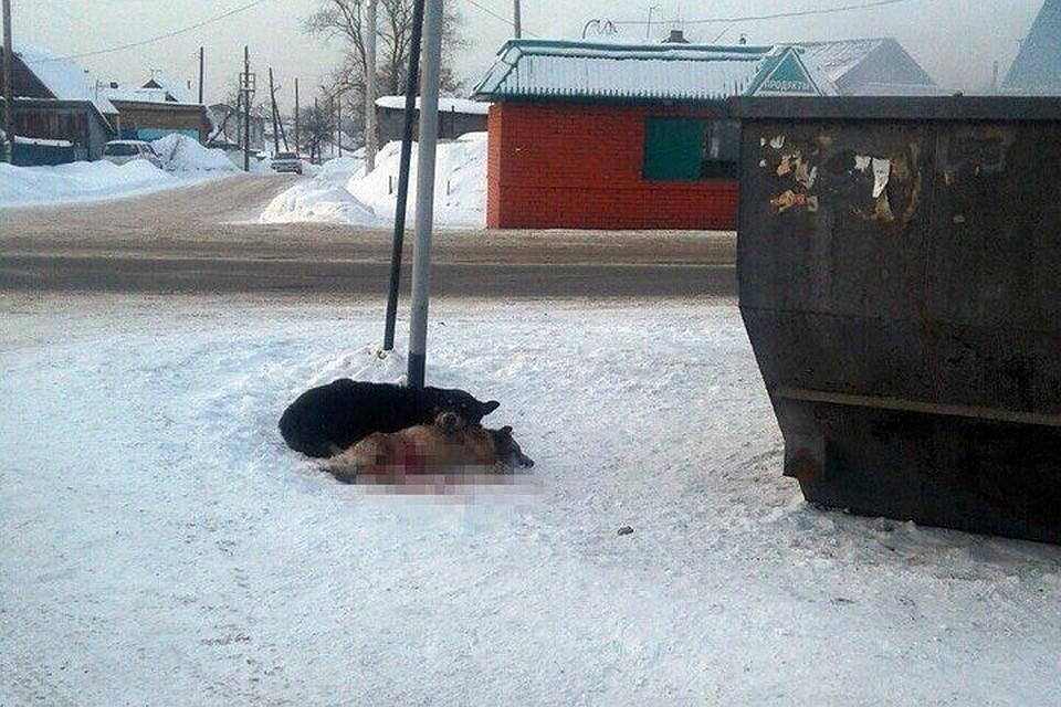 В Кемерове пес охранял сбитую подругу. Два дня он лежал рядом, положив голову на ее спину