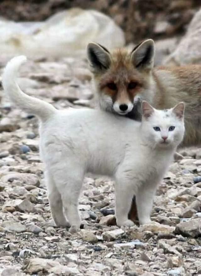 котик и лисичка картинки