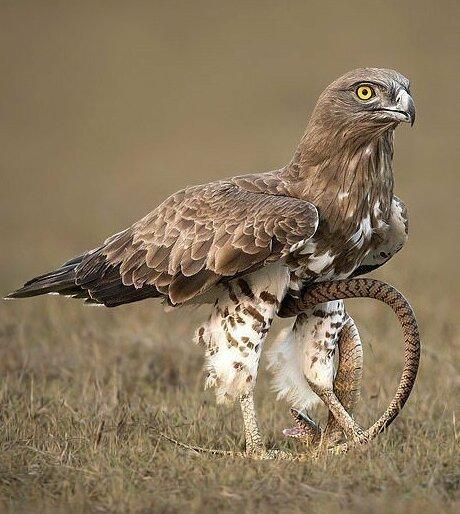 В какой-то момент змея обвила лапу хищника Тамилнад, животные, змея, индия, орел, схватка, хищник