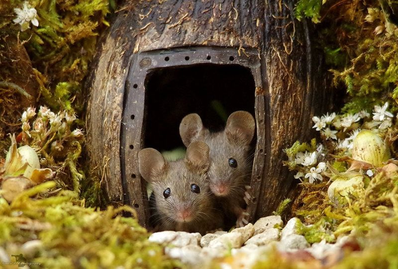 Фотограф приютил в своем саду полевку и понеслось - теперь там целая мышиная деревня с охраной