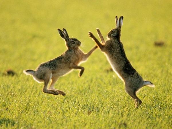 Это сочинение про зайцев уж точно не получит хорошей оценки, однако, с фантазией у паренька всё в порядке