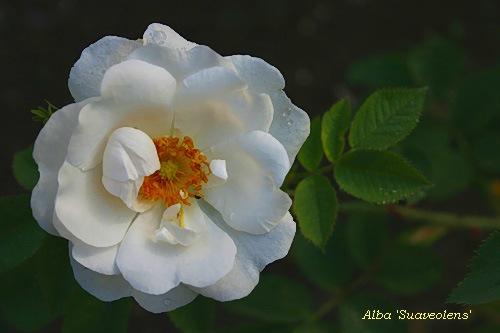 Неукрывные розы. Часть2.