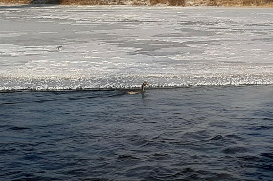 Подобраться к птице по льду возможности не было. Фото: предоставлено Олегом Лухневым.