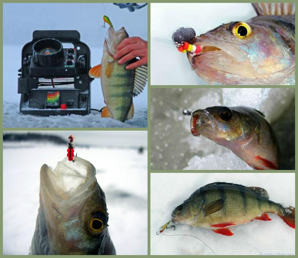 Зимняя ловля окуня секреты