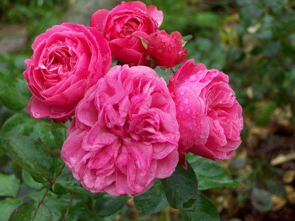 Розы в августе