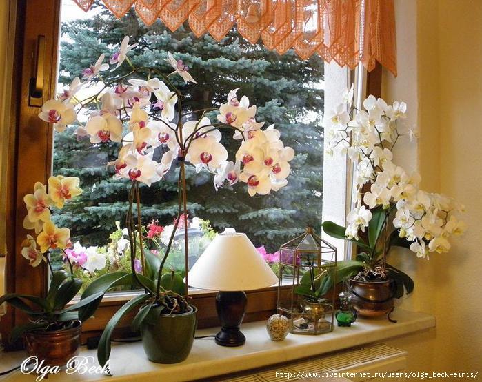 Орхидеи Фаленопсис (Phalaenopsis). Полив. Когда нужно поливать орхидею.