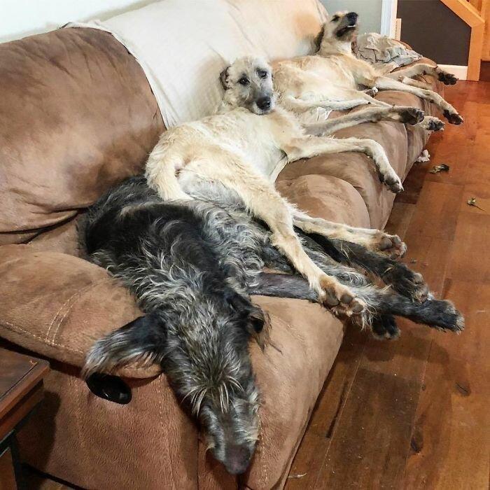 """46. """"Эта троица работала четко и слаженно, чтобы выгнать меня с дивана"""" волкодав, волкодавы, домашние питомцы, забавные собаки, собаки, собаки и дети, собаки и хозяева, фото собак"""