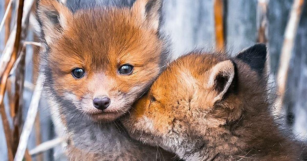 Лисицы из Финляндии: лесная сказка!