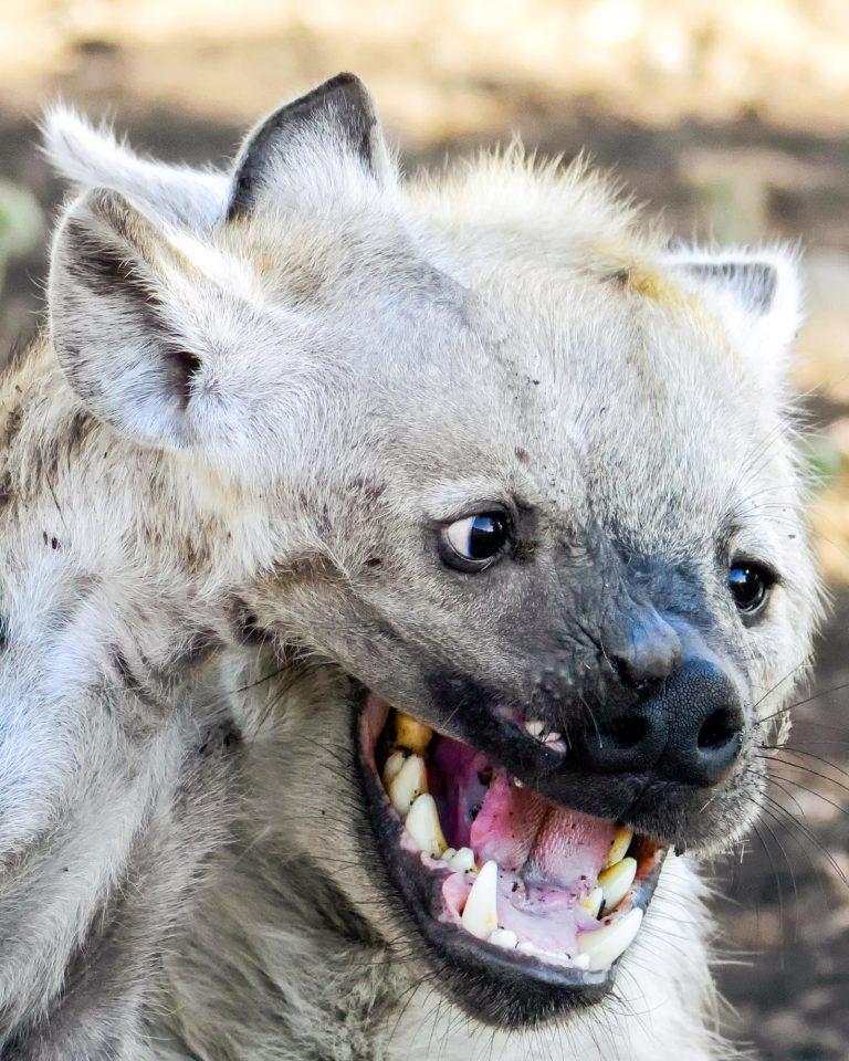 картинки гиена улыбается течение лета тепло