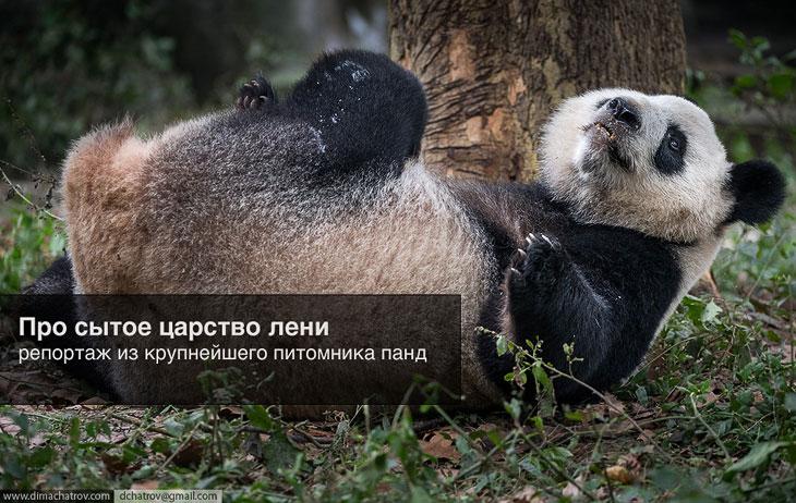Крупнейший питомник панд