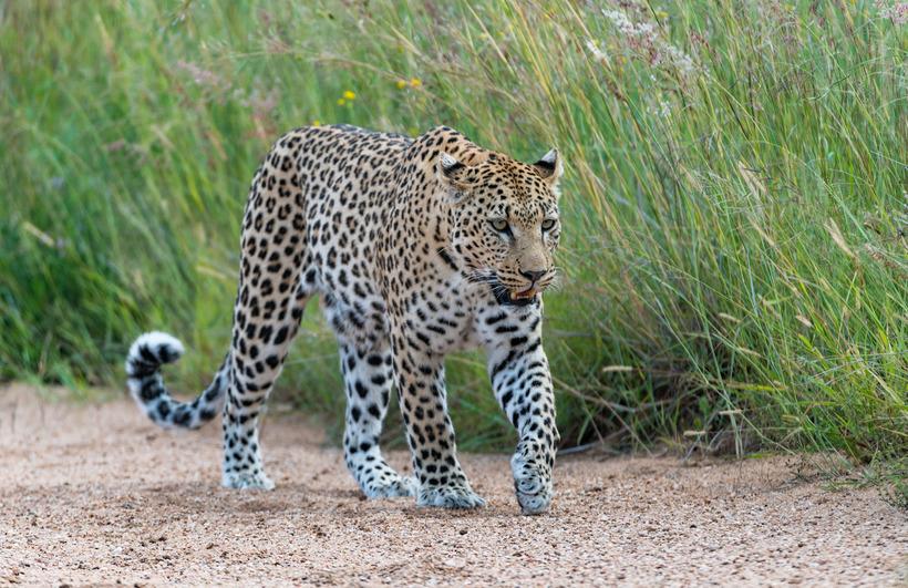 Почему в Африке леопардов ищут с помощью антенн