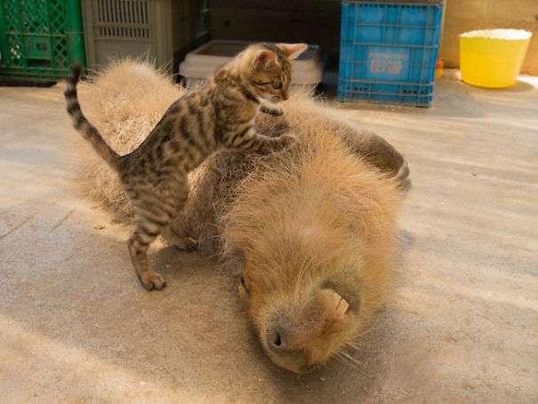 """""""Совсем как кот!"""" Огромная капибара живет в доме, дружит с собаками и сердится на черепах!"""