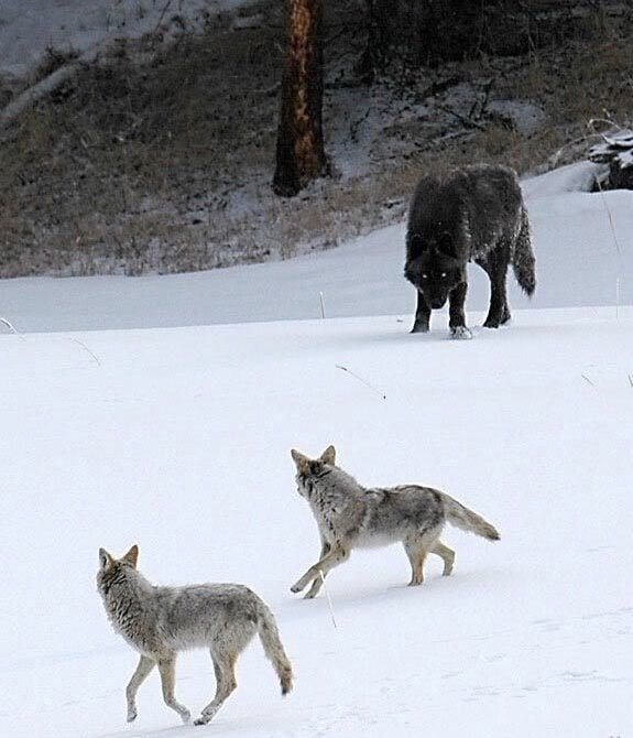 11. Койоты и волк — разница очевидна в мире, животные, люди, размер, разница, фото