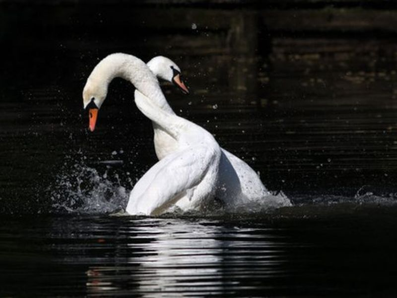 Пара лебедей попала в беду и…
