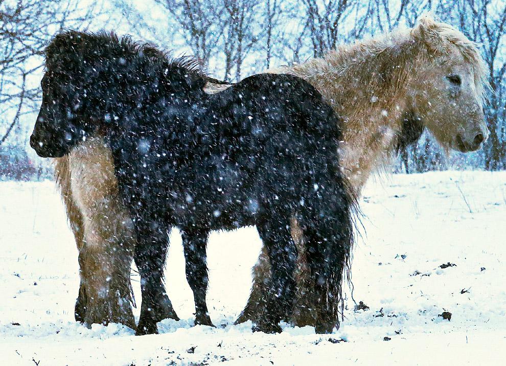 Лошади и снегопад под Франкфуртом в Германии