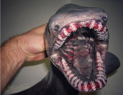 В Португалии поймали доисторическую акулу-монстра