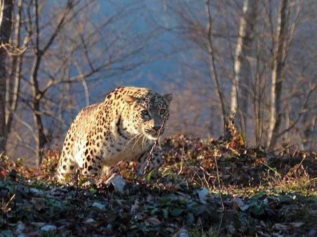 На леопарда Ахун в горах Кав…