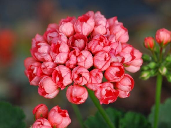 Пеларгонии Тюльпановидные - Tulipa pelargonium