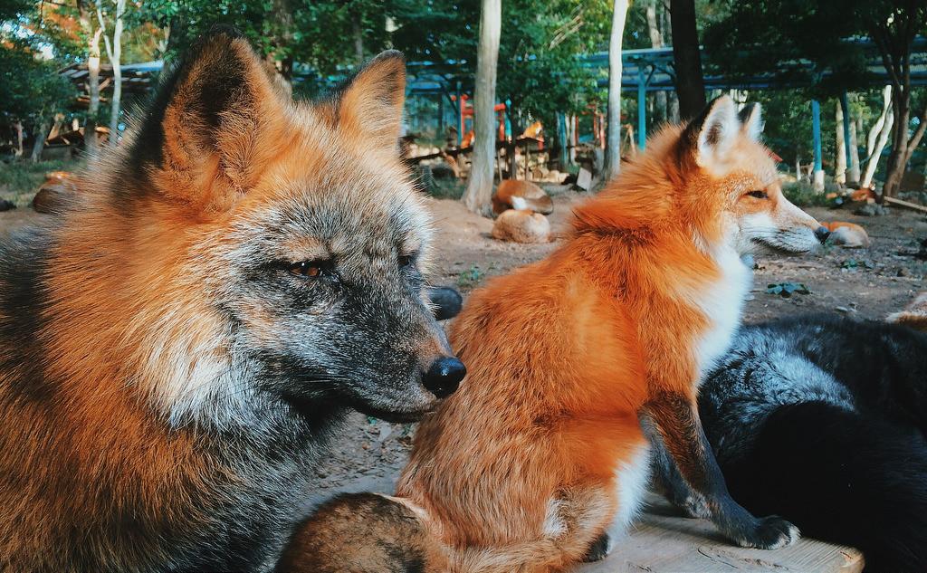 Удивительные места нашей планеты - деревня лисиц в Японии, фото