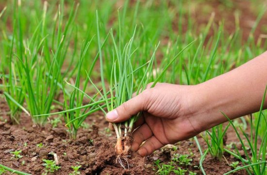 Лук в огороде — обзор видов и сортов, с чем хорошо соседствует на грядках