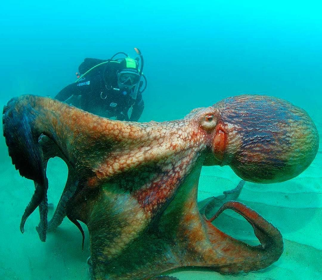 гигантские осьминоги картинки