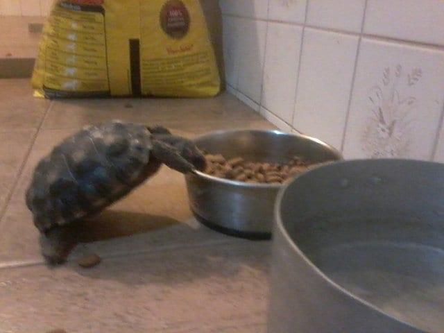 Черепаха ушла из дома на 3 недели. Хозяин был очень удивлен, узнав, где она была.