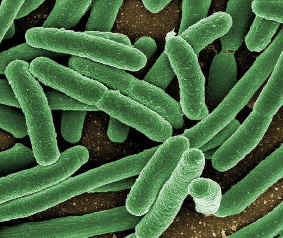 Кишечные бактерии любят кофе…