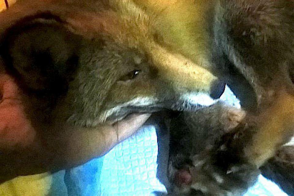 В Петербурге спасают лисицу, которая попала под машину в новогоднюю ночь