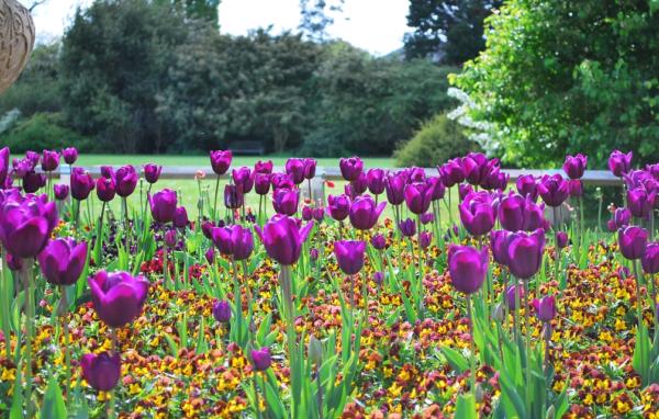 Как правильно выращивать тюльпаны на даче