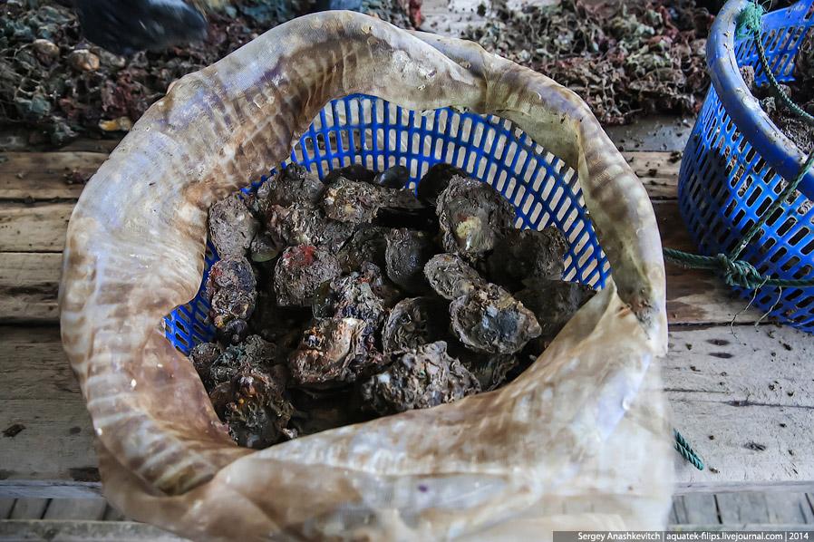 Как во Вьетнаме добывают жемчуг